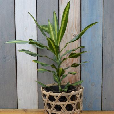 Plante verte Croton