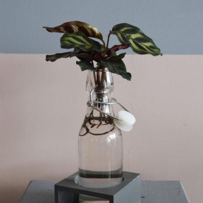 Plante verte Dieffenbachia