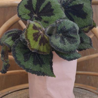 Plante verte bégonia dans son cache-pot rose