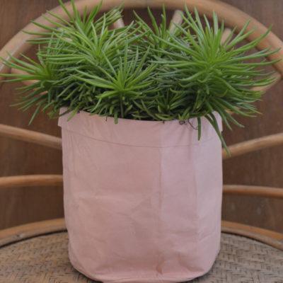 Plante verte Peperonia et son cache-pot rose
